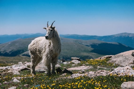 Agile, the goat - image for article by Greg Alder